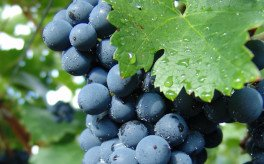 Que tal um vinho Friburguense?