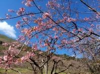Festa da Cerejeira terá música e culinária japonesa
